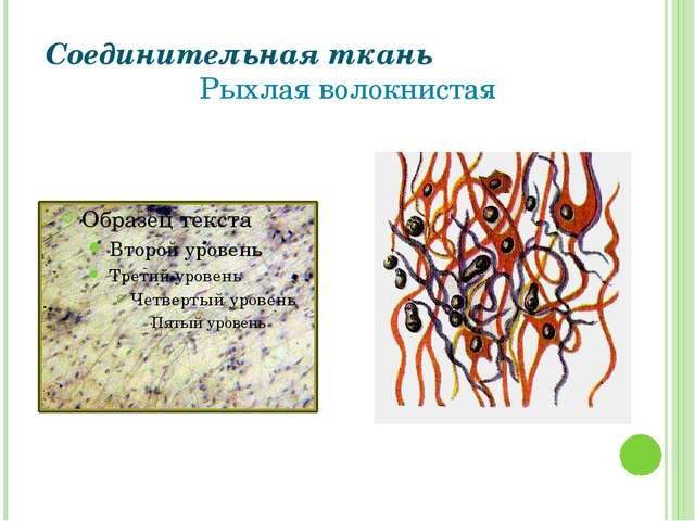 Соединительная ткань Рыхлая волокнистая Григорьева Галина Михайловна