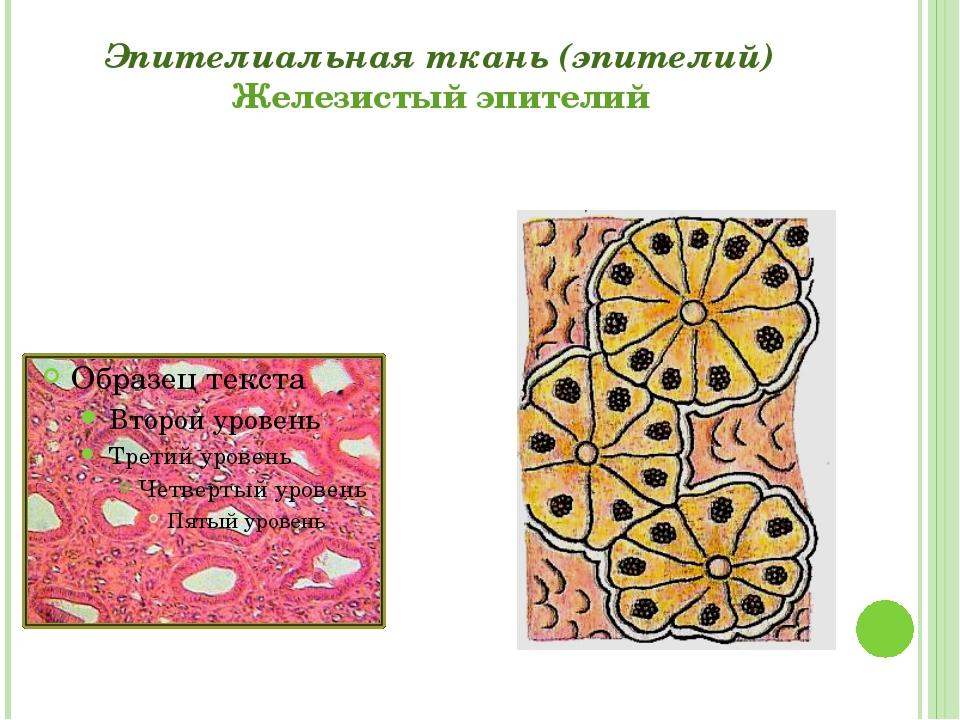 Эпителиальная ткань (эпителий) Железистый эпителий Григорьева Галина Михайловна