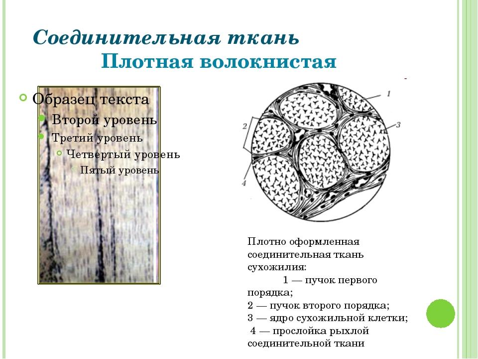 Соединительная ткань Плотная волокнистая Плотно оформленная соединительная тк...