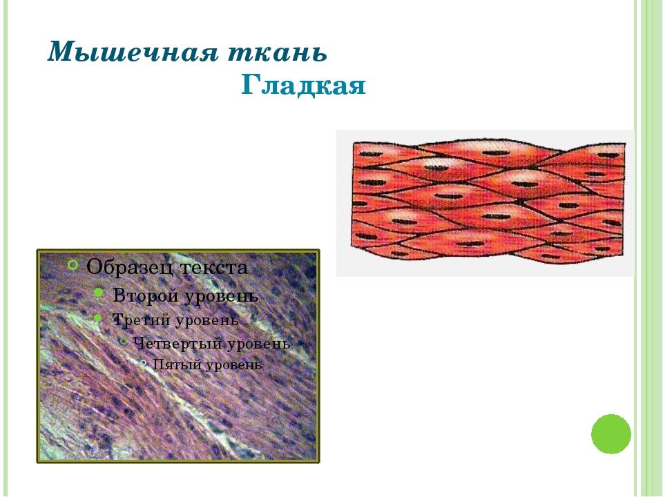 Мышечная ткань Гладкая Григорьева Галина Михайловна