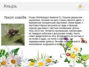 Кнырь Текст слайда Ктырь (Selidopogon diadema F.). Хищное двукрылое насекомо