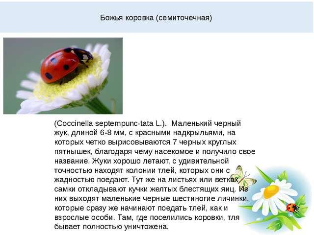 Божья коровка (семиточечная) (Coccinella septempunc-tata L.). Маленький черны...