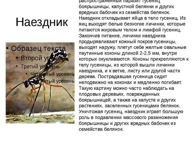 Наездник (Apanteles glomeratus L.). Маленькое перепончатокрылое Летает летом...