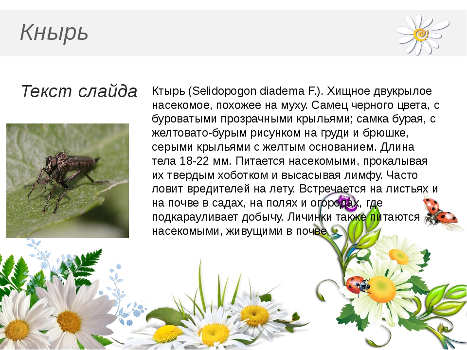Кнырь Текст слайда Ктырь (Selidopogon diadema F.). Хищное двукрылое насекомо...