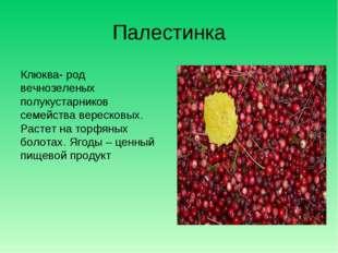 Палестинка Клюква- род вечнозеленых полукустарников семейства вересковых. Рас