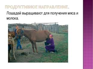 Лошадей выращивают для получения мяса и молока.