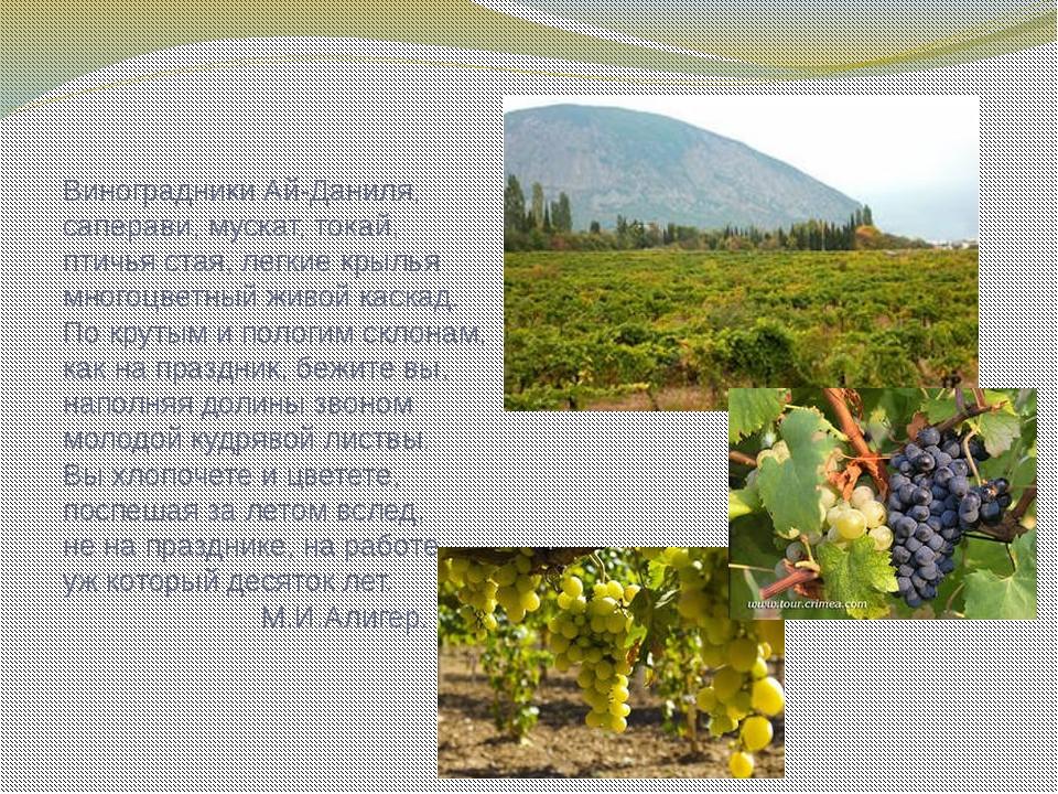 Виноградники Ай-Даниля, саперави, мускат, токай, птичья стая, легкие крылья м...