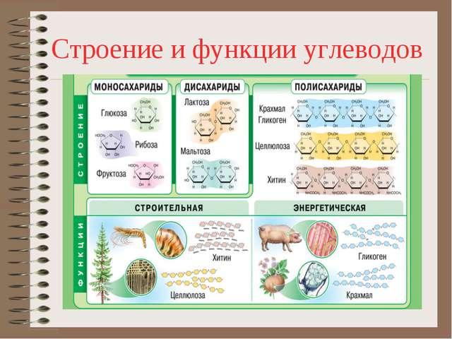 Строение и функции углеводов