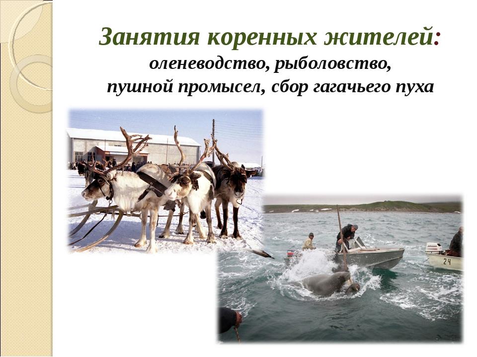 Занятия коренных жителей: оленеводство, рыболовство, пушной промысел, сбор га...