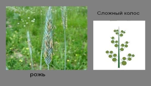 http://900igr.net/datas/biologija/Biologija-Sotsvetija/0015-015-Rozh.jpg