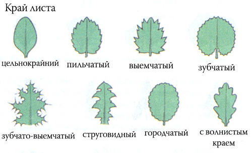 http://www.floralworld.ru/images/mophology/cray_folia.jpg