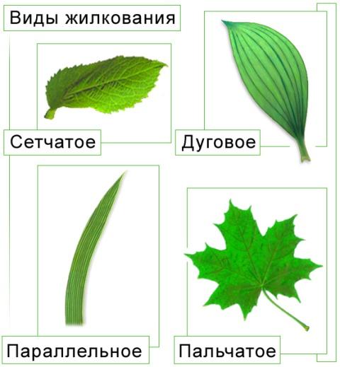 http://biologymoscow.ucoz.ru/illustracii/botanika/vyshie/razn/111vidi_Zhilkovaniya_Listev.jpg