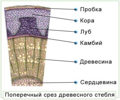 http://biologymoscow.ucoz.ru/illustracii/botanika/vyshie/razn/111poperechniyi_Srez_Drevesnogo_Steblya.jpg