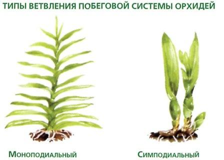 http://plantshome.com.ua/images/stories/enzyclopediya/zvetuchye/Orhidei/3.jpg