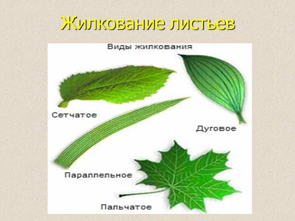 http://900igr.net/datas/biologija/Odnodolnye-rastenija/0015-015-ZHilkovanie-listev.jpg