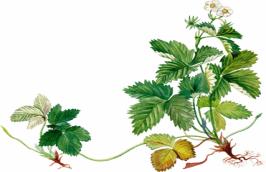http://900igr.net/datai/biologija/Vegetativnoe-razmnozhenie/0006-006-Razmnozhenie-usami.png