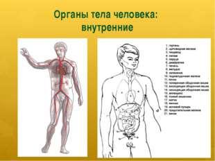 Органы тела человека: внутренние