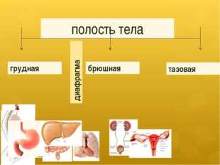 полость тела грудная брюшная тазовая диафрагма