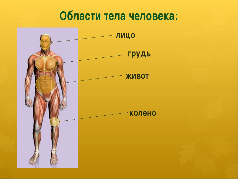 Области тела человека: лицо грудь живот колено