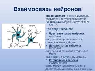 Взаимосвязь нейронов По дендритам нервные импульсы поступают к телу нервной к