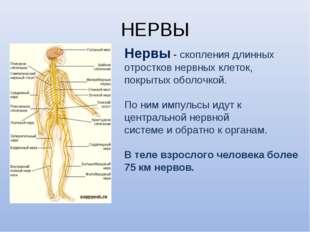 НЕРВЫ Нервы - скопления длинных отростков нервных клеток, покрытых оболочкой.