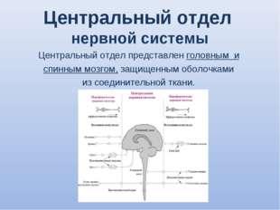 Центральный отдел нервной системы Центральный отдел представлен головным и сп