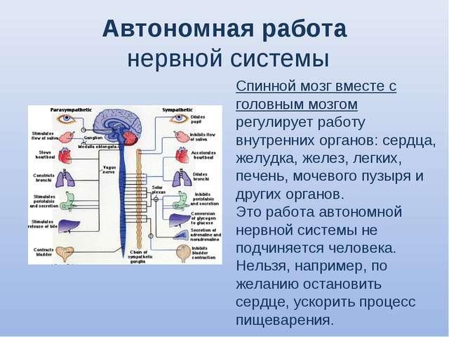 Автономная работа нервной системы Спинной мозг вместе с головным мозгом регул...