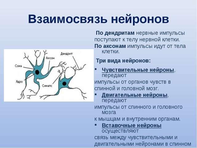 Взаимосвязь нейронов По дендритам нервные импульсы поступают к телу нервной к...