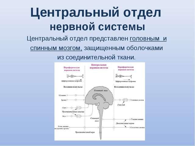Центральный отдел нервной системы Центральный отдел представлен головным и сп...