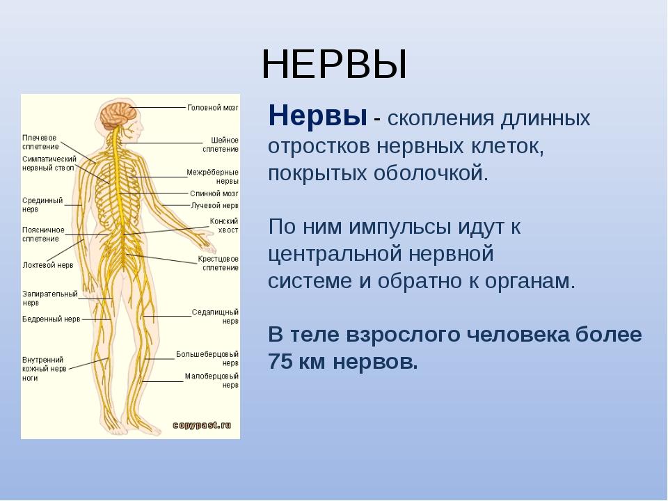 НЕРВЫ Нервы - скопления длинных отростков нервных клеток, покрытых оболочкой....