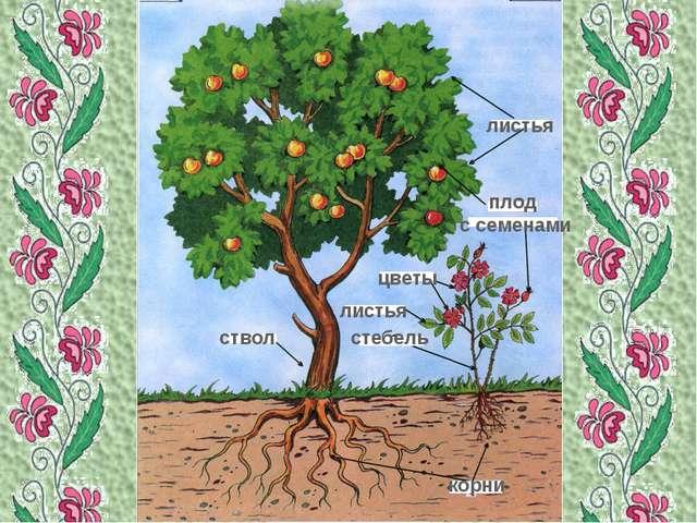 листья корни ствол плод с семенами цветы стебель листья