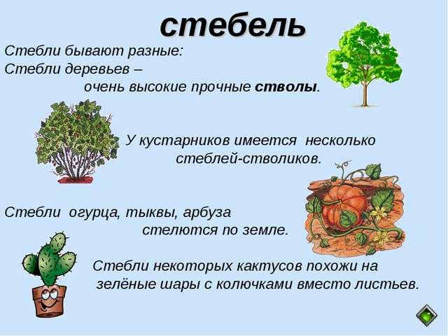 Стебли бывают разные: Стебли деревьев – очень высокие прочные стволы. У куста...