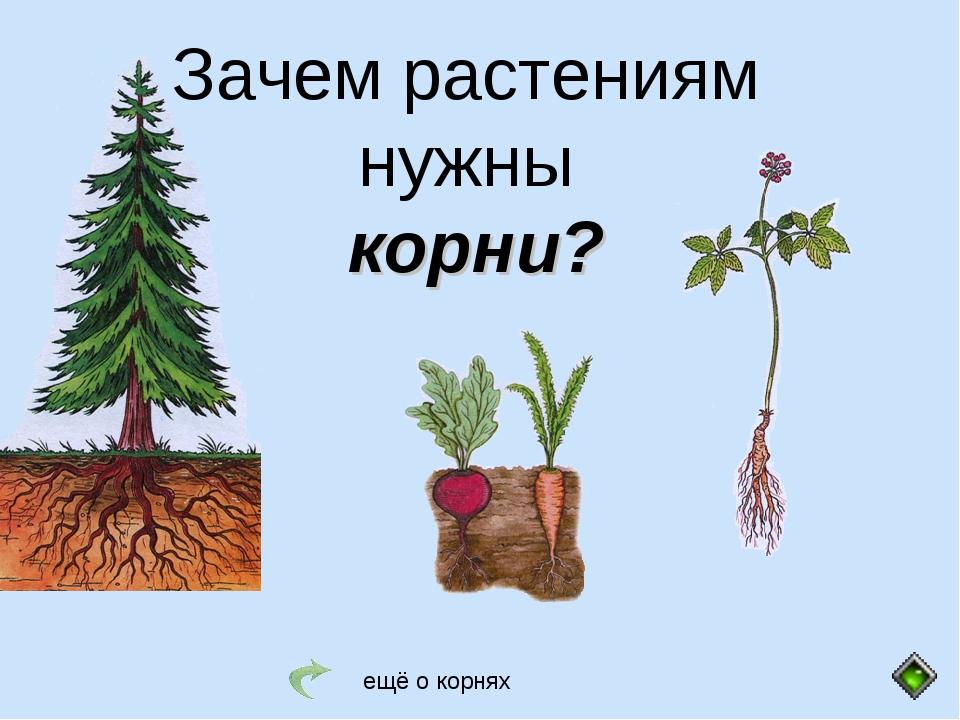 Зачем растениям нужны корни? ещё о корнях