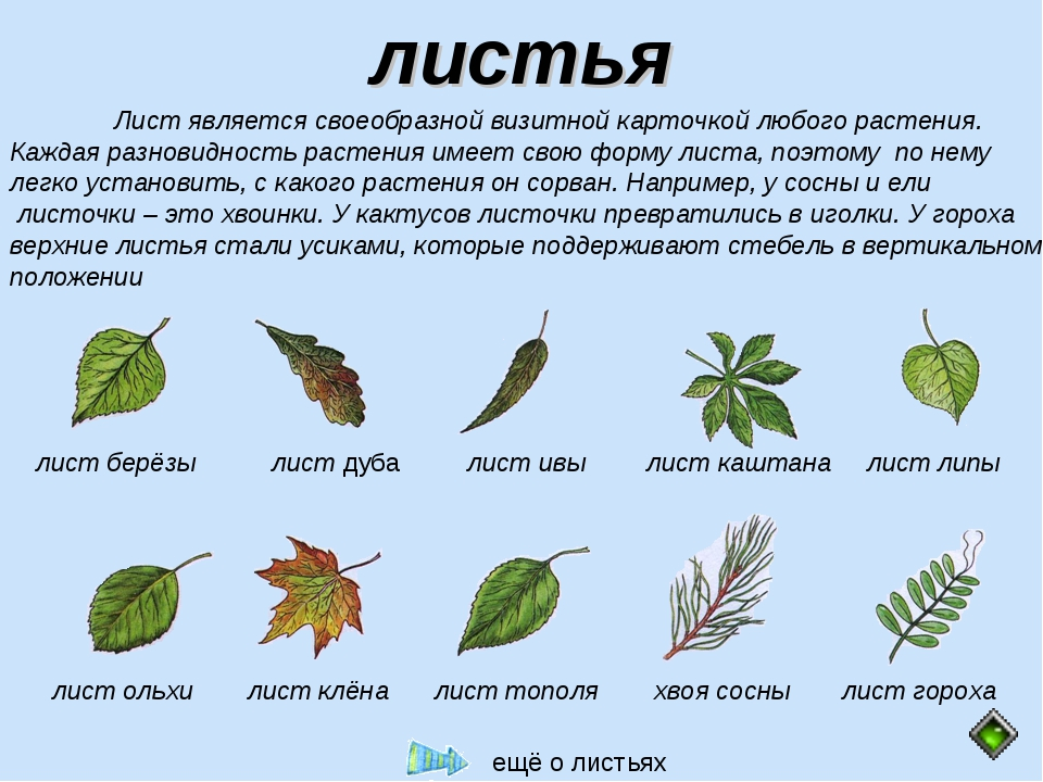 листья Лист является своеобразной визитной карточкой любого растения. Каждая...