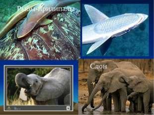Рыбы-прилипалы Слон