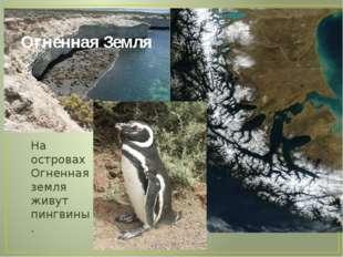 Огненная Земля На островах Огненная земля живут пингвины.