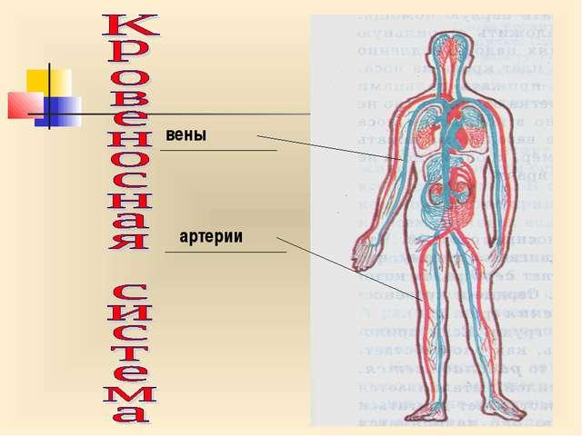 вены артерии