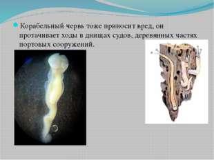 Корабельный червь тоже приносит вред, он протачивает ходы в днищах судов, де