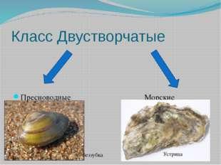 Класс Двустворчатые Пресноводные Морские беззубка Устрица