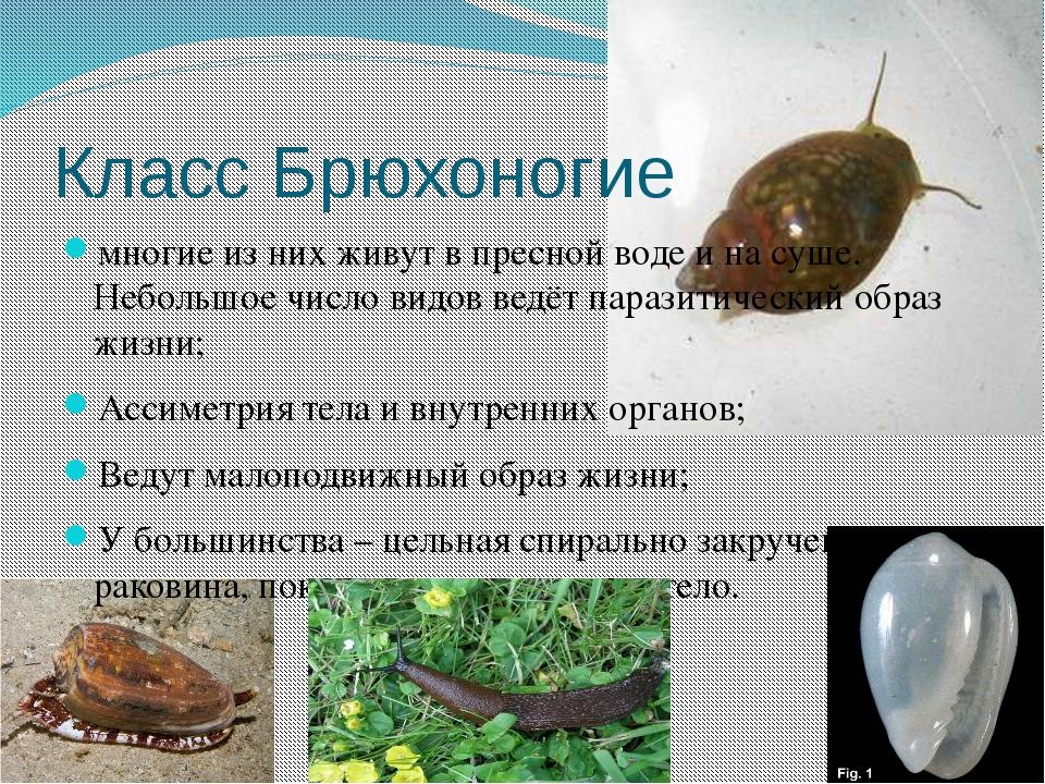 Класс Брюхоногие многие из них живут в пресной воде и на суше. Небольшое числ...