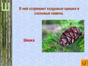 В ней созревают кедровые орешки и сосновые семена. Шишка