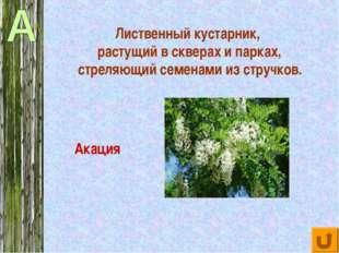 Лиственный кустарник, растущий в скверах и парках, стреляющий семенами из стр