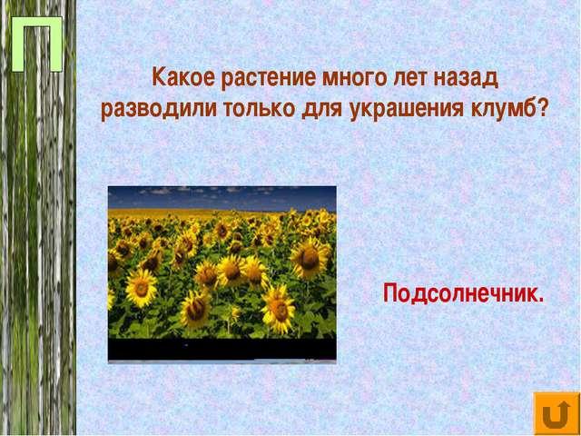 Какое растение много лет назад разводили только для украшения клумб? Подсолне...
