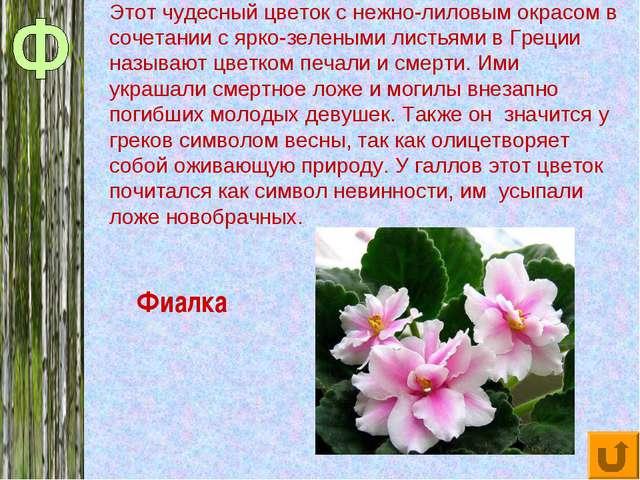 Фиалка Этот чудесный цветок с нежно-лиловым окрасом в сочетании с ярко-зелены...