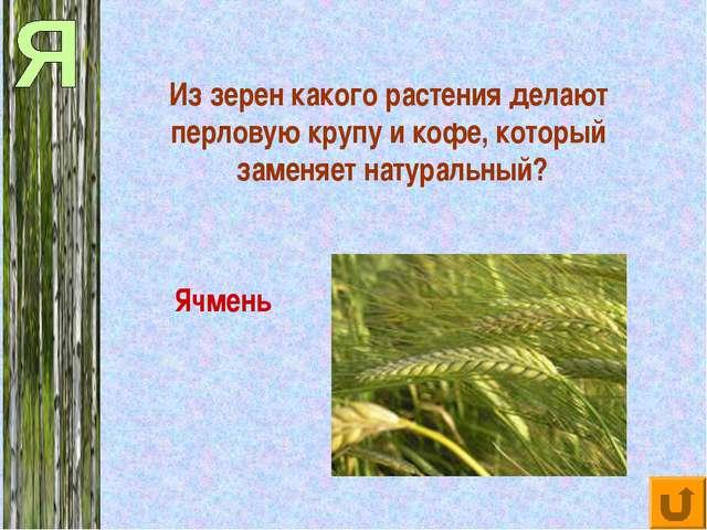 Из зерен какого растения делают перловую крупу и кофе, который заменяет натур...