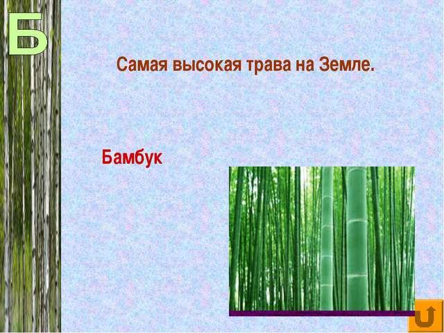 Самая высокая трава на Земле. Бамбук