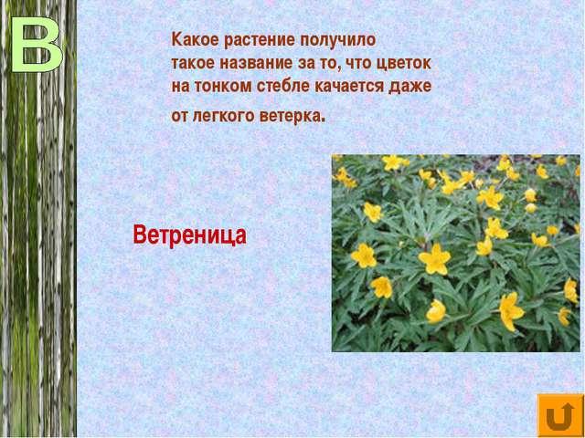 Какое растение получило такое название за то, что цветок на тонком стебле кач...