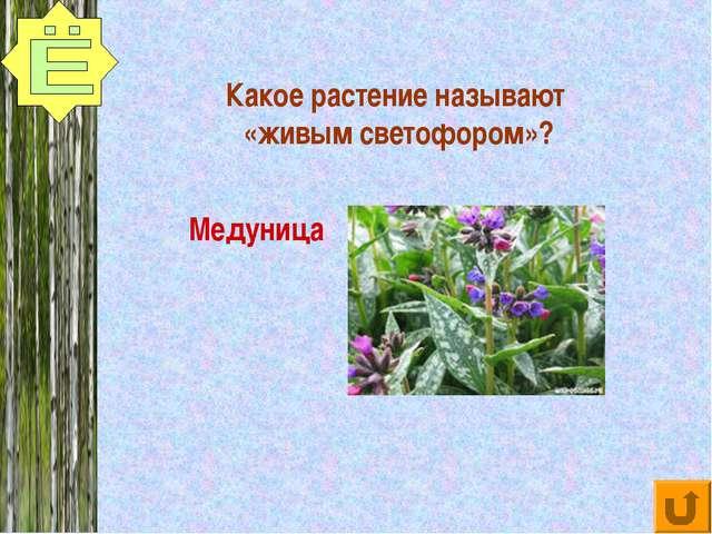 Какое растение называют «живым светофором»? Медуница