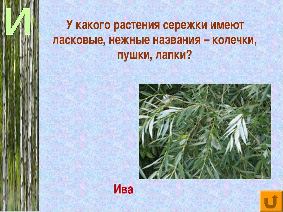 У какого растения сережки имеют ласковые, нежные названия – колечки, пушки, л...