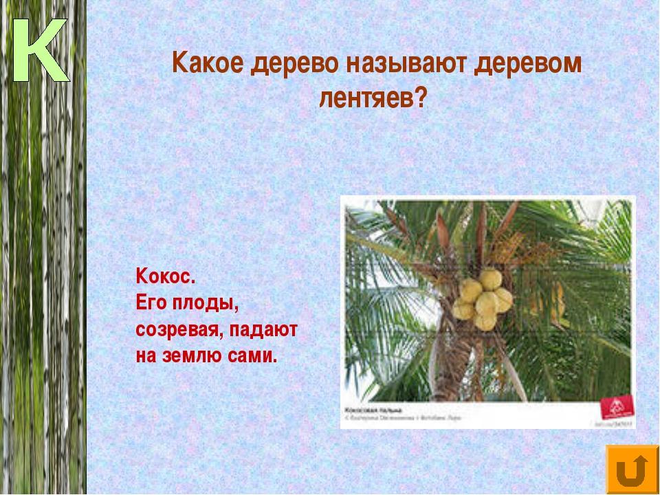 Какое дерево называют деревом лентяев? Кокос. Его плоды, созревая, падают на...